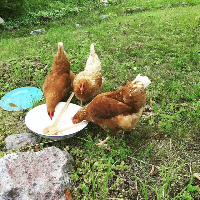 Chickens eating in the garden